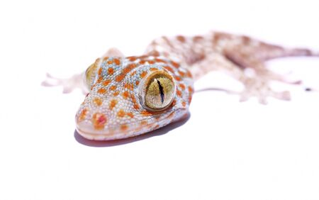 bugaboo: Gecko head isolated on white background
