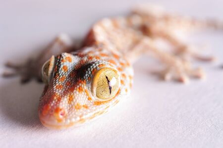 Gecko head isolated on white background photo