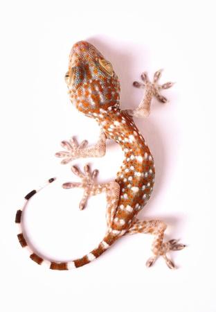 Gecko climbing on white background  Stock Photo