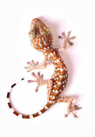 lagartija: Gecko que sube en fondo blanco Foto de archivo