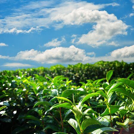 Green tea farm on hill with blue sky background photo