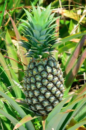 Pineapple in farm, Agriculture in Thailand photo