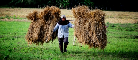 CHIANGMAI, THAILAND - NOVEMBER 28 : A local farmer shoulder straw on 28 November 2012 in Chiangmai, Thailand