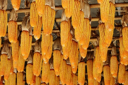 Hanging corn on ceiling, Agriculture concept photo