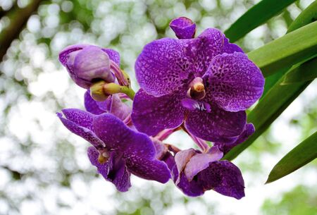 thai orchid: Nice purple orchid in Thailand