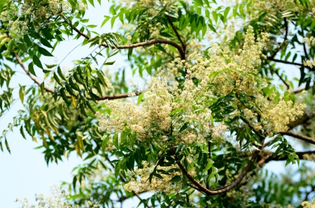 neem: Margosa flower or Neem flowers in Thailand