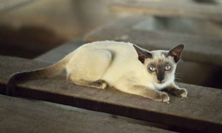Thai cat is a traditional or old-style Siamese cat  photo