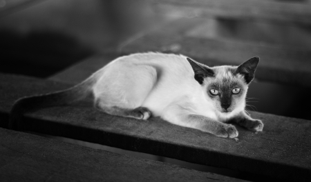 Siamese cat, Thai cat is a traditional in black and white style photo