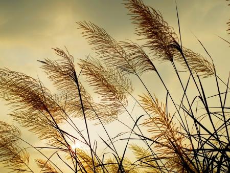 Wind wuivende het gras met zonsondergang hemel achtergrond