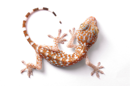 bugaboo: Gecko climbing on white background  Stock Photo
