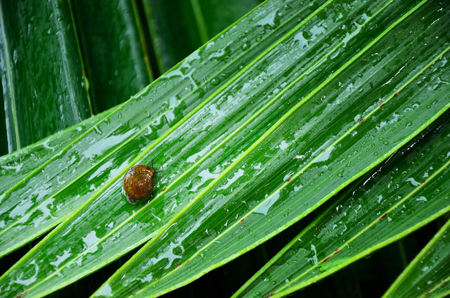 mucous: Snail on wet leaves with droplet Stock Photo