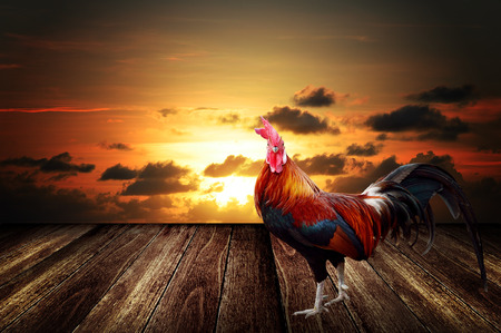 Rooster with morning sunrise sky background photo