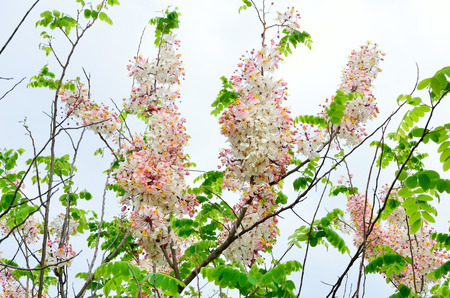 Wishing Tree, Pink Showe, Cassia Bakeriana Craib, Beneath a tree flowering pink resemble sakura  Thailand  photo