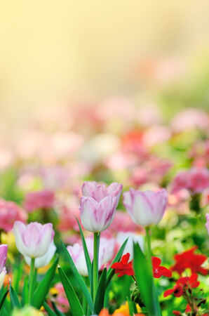 Nice tulip in garden with morning light photo