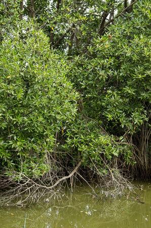 mangrove forest: Mangrove tree at mangrove forest