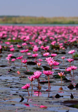 Sea of pink lotus,Nong Han, Udon Thani, Thailand (unseen in Thailand) photo
