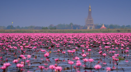 thailand: Sea of pink lotus,Nong Han, Udon Thani, Thailand (unseen in Thailand)