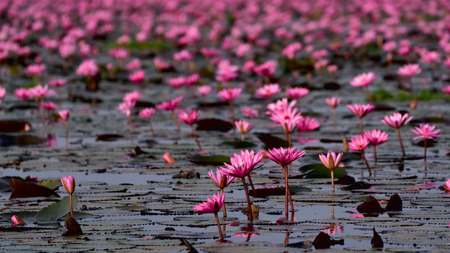 unseen: Sea of pink lotus,Nong Han, Udon Thani, Thailand (unseen in Thailand)