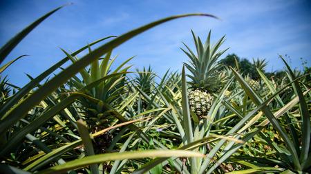 pineapple farm photo
