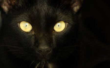halloween black cat: Closeup portrait of a Halloween black cat with yellow eyes