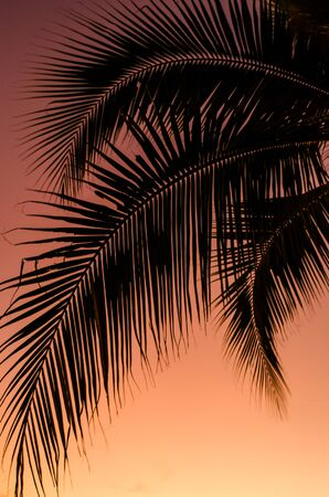 coconut leaf: Coconut leaf silhouette with sunset sky background