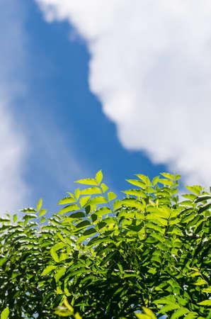 Neem plant with nice sky background photo