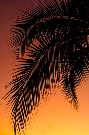 cielo atardecer: Coco silueta de la hoja con el fondo del cielo del atardecer