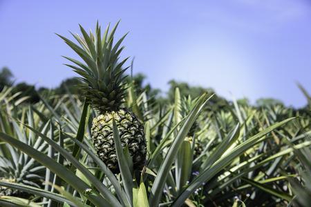 Pineapple farm in Sriracha, Chonburi, Thailand Standard-Bild