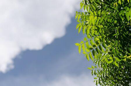 neem: Neem plant with nice sky background Stock Photo