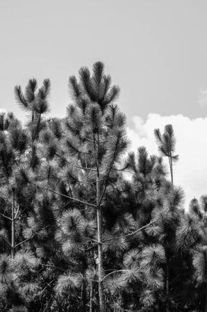 ex: Khasiya Pine, Pinus kesiya Royle ex Gordon