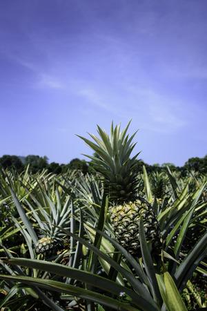 botanical farms: Pineapple farm in Sriracha, Chonburi, Thailand Stock Photo