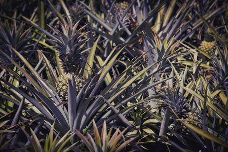 chonburi: Pineapple farm in Sriracha, Chonburi, Thailand Stock Photo
