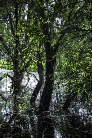 flooding: Tree with flooding in swamp Stock Photo