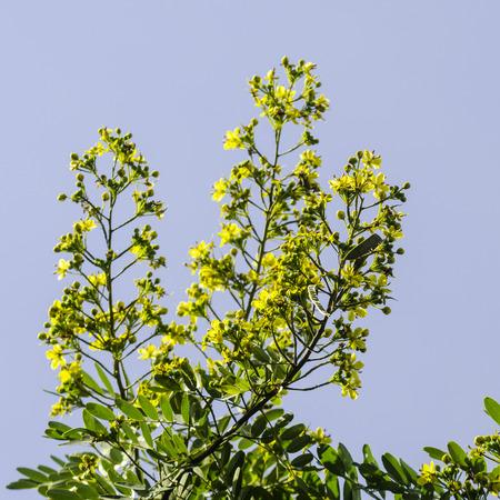 leguminosae: Cassod tree, Thai copper pod Senna siamea Lam. Irwin  Barneby, Leguminosae - ceasalpinioideae.