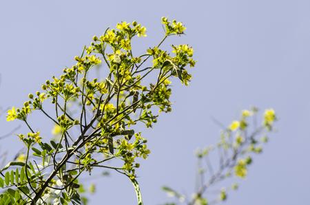 leguminosae: Cassod tree, Thai copper pod (Senna siamea (Lam.) Irwin & Barneby), Leguminosae - ceasalpinioideae.