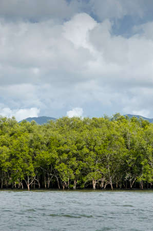 mangrove forest: Mangrove forest in Thailand Stock Photo