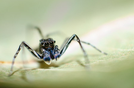 salticidae: Jumping spider on green leaf, Phintella vittata