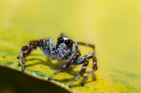 arachnida: Jumping spider on green leaf, Macro shot
