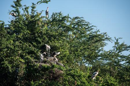 anastomus: Asian openbil stork, Anastomus oscitans