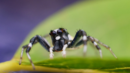 jumping spider: Jumping spider on green leaf, Macro shot