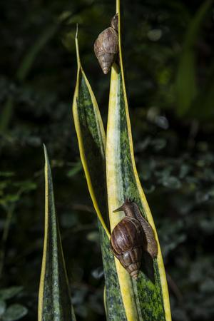 gastropod: Gastropod on plant