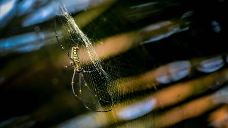 golden orb weaver: Giant Wood Spiders Nephila maculate Stock Photo