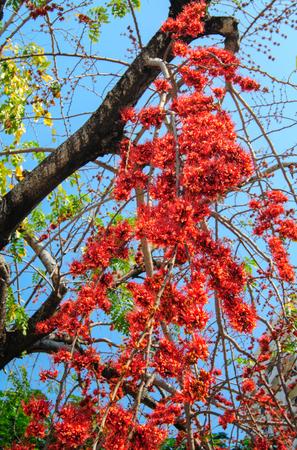 fire flower: Fire of Pakistan flower blossom