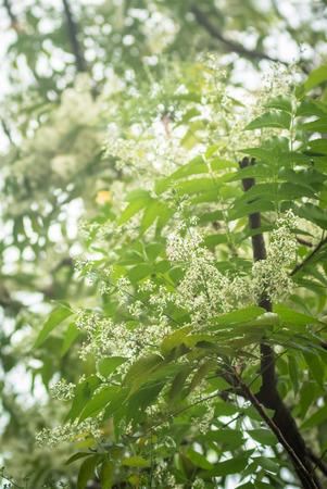 neem: Ne-em leaves and flowers or Margosa flower in Thailand