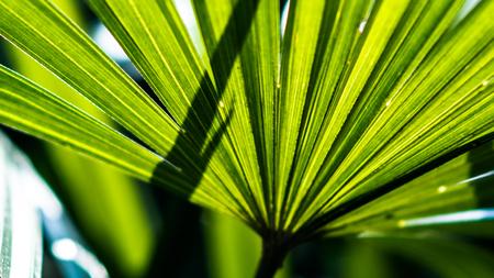 botanical farms: Lady palm leaf close up shot