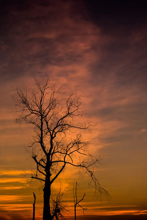 air dried: Silhouette of dried tree with sunset sky Stock Photo