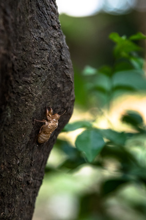 slough: Cicada slough at tree, Chinese herbal medicine Stock Photo