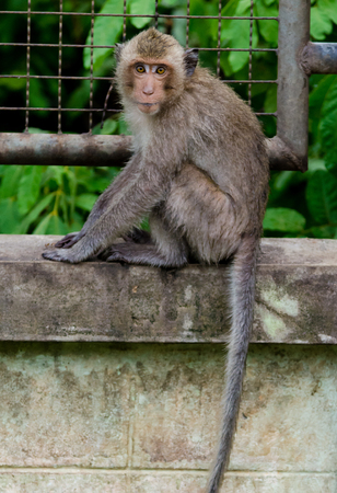 Young monkey sit at concrete wall