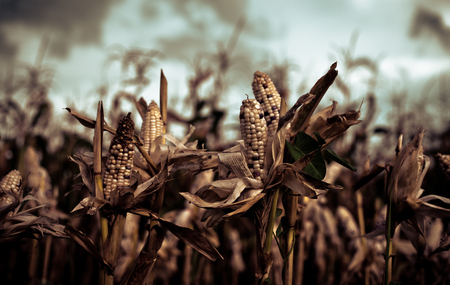 Harvest time concept at corn farm, Corn in a corn field ready for harvest Stock Photo
