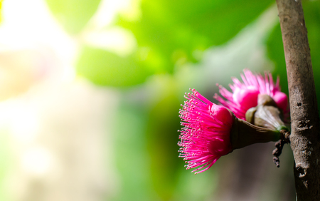 background: Flower of Malay apple on tree Stock Photo